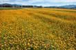Cosmos flower field - 209829717
