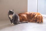 British short hair cat and golden retriever - 209831714