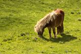Portrait of cute little pony grazing on a green grass  - 209833708