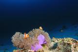 Clown Anemonefish (Clownfish) fish  - 209836302