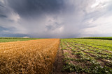 Wheat field at stormy day - 209836345