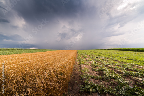 Foto Murales Wheat field at stormy day