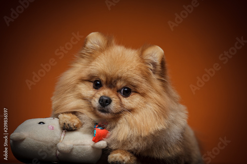 Little Dog Breed Pomeranian Spitz Lying In An Embrace With His Toy