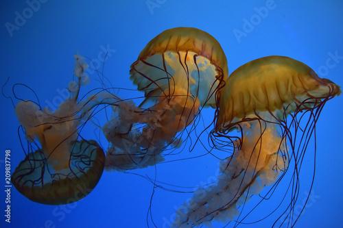 Fototapeta Yellow transparent jelly fish on dark blue background