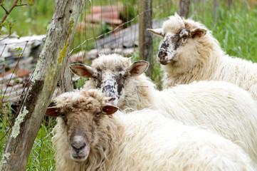 funny sheeps scene