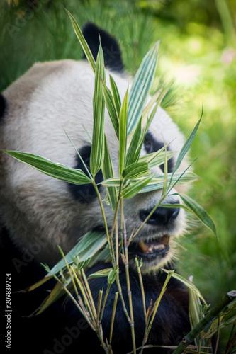 Plexiglas Panda Hiding Panda