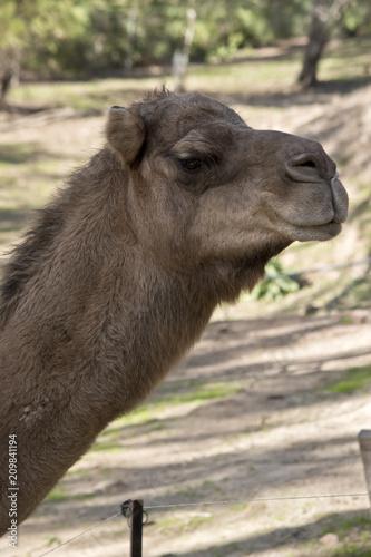 Fototapeta camel one hump