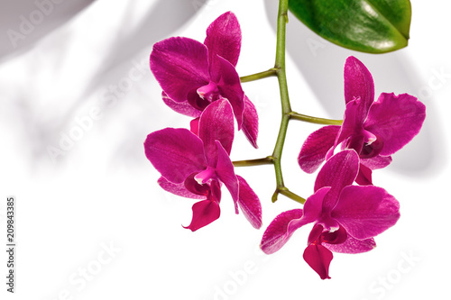 Purple Phalaenopsis orchids, also known as moth orchids, casting shadows on a white background.