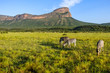 A beautiful view in South Africa with zebras and a mountain range. Entabeni waterberg.
