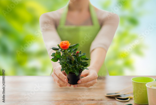 Foto Murales gardening, planting and people concept - close up of female gardener hands holding flower pot with rose over green natural background