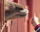 A child feeds an animal in a cage at the zoo - 209852394