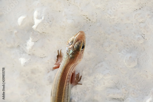 Fotobehang Cyprus Lizard close up (Trachylepis vittata)