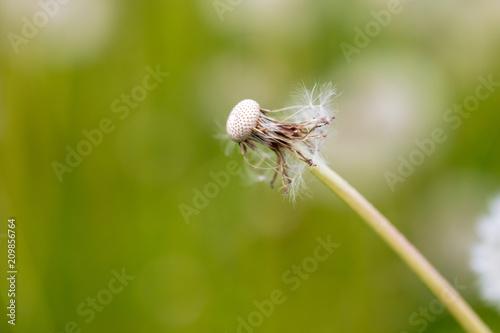 Fluffy dandelion on nature