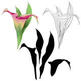 Calla lily  pink flowers and leaves   herbaceous perennial ornamental plants natural and outline and silhouette on a white background  vintage  vector illustration editable hand draw - 209857986