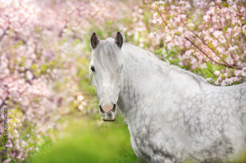 Fotobehang Paarden White horse portrait in spring pink blossom tree