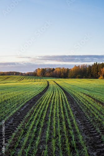Plexiglas Herfst A view of the green country agricultural field and forest under a colorful morning sky, Latvia