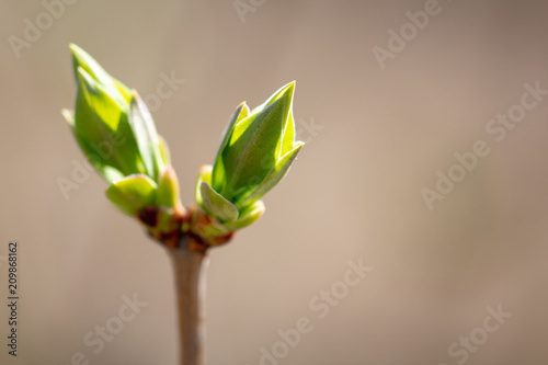 Foto Murales Kidney leaves on a tree in the spring