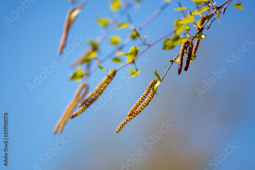 Flowers on a birch tree in the spring - 209868176