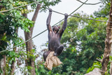 Chimpanzee on rope with bag in her hands - 209869535