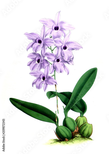 Illustration of orchid - 209872343