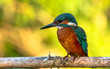 Leinwanddruck Bild - Common Kingfisher