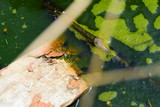 Natural background, swamp with green foam and tadpoles, small children of frogs and toads, many black embryos in a pond with a tree, green color - 209883164