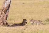 Cheetah with cubs lying down - 209895566