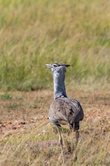 Kori Bustard bird in the grass