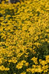 Woolly sunflowers in the field
