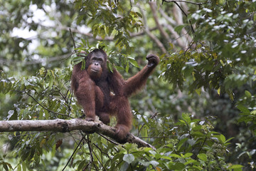 Wild orangutan in tropical rainforest