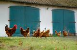Bauernhof - Hühner und Hahn laufen vor eioner alten Scheune - 209900944