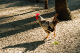 Rooster run along the sand on rural farm.