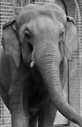 Naklejka Elefant Black and White