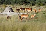 The impala (Aepyceros melampus) . Herd of antelope close to the termite. - 209914944