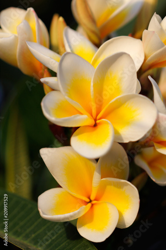 Fotobehang Plumeria Flowering tree of Plumeria rubra (frangipani) decorating a summer garden