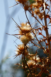 Dried plants on the summer field, blue sky background - 209921713