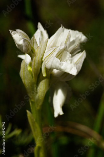 Lateral view of white butterfly orchid flowers - Anacamptis papilionacea