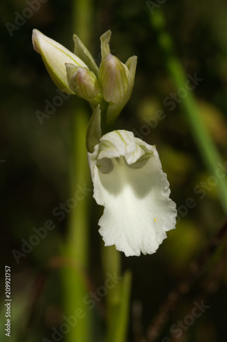 Frontal view of white butterfly orchid flower - Anacamptis papilionacea - 209921757