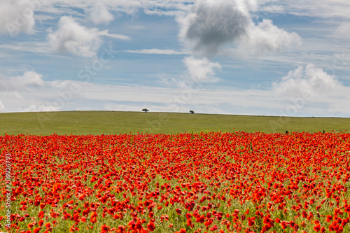 Foto Spatwand Klaprozen A poppy field in Sussex on a sunny summer's day