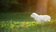 Leinwanddruck Bild - cute little lamb on fresh green meadow