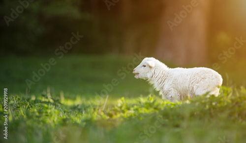 Leinwanddruck Bild cute little lamb on fresh green meadow