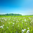 Field with dandelions - 209941309