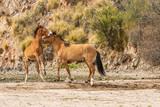 Salt River Wild Horses Sparring in the Arizona Desert - 209942789