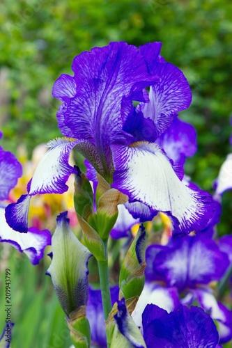 Fotobehang Iris Beautiful iris in garden