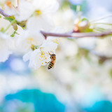 Spring. Bee collects nectar (pollen) from the white flowers of a flowering cherry on a  blurred background of nature and blue sky. Blurred space for text.