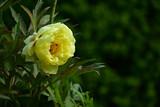 黄色いボタンの花 - 209965954