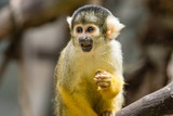 The black-capped squirrel monkey (Saimiri boliviensis) is a South American squirrel monkey, found in Bolivia, Brazil and Peru. - 209969529