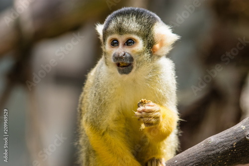Aluminium Aap The black-capped squirrel monkey (Saimiri boliviensis) is a South American squirrel monkey, found in Bolivia, Brazil and Peru.
