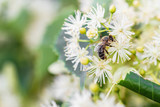 Bee pollinates the linden flowers. Honey bee in lime branches. Closeup, selective focus