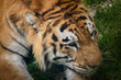 Face of a tiger close up
